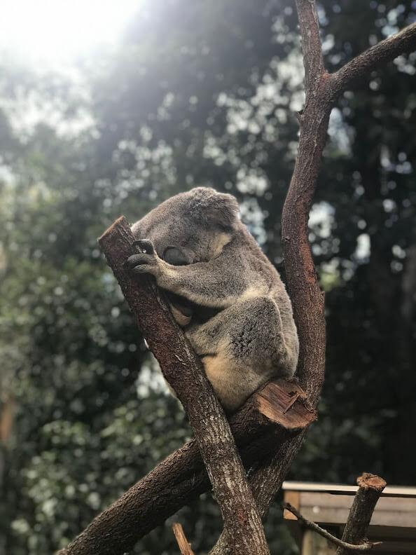 動物園『ワイルドライフ』のコアラが木で寝ている