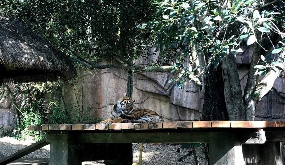 オーストラリア動物園にいる大きな虎の写真   ©kosodatebrisbane.com