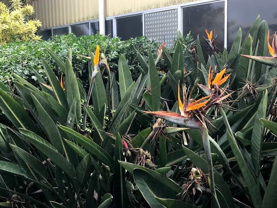 「ジンジャーファクトリ―」で撮った「バードオブパラダイス(極楽鳥)」のプランツの写真