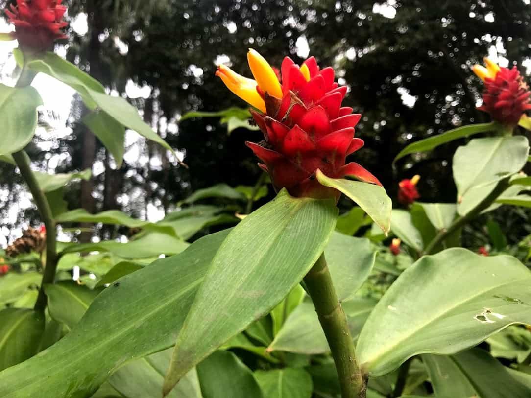 ジンジャーファクトリーに生えているショウガ系のプランツの花が咲いた写真