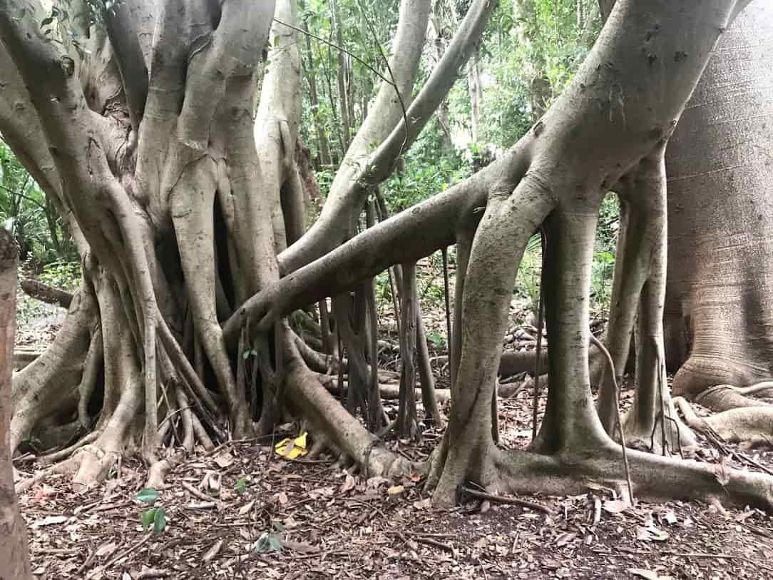 Moreton Bay Fig Tree の画像写真