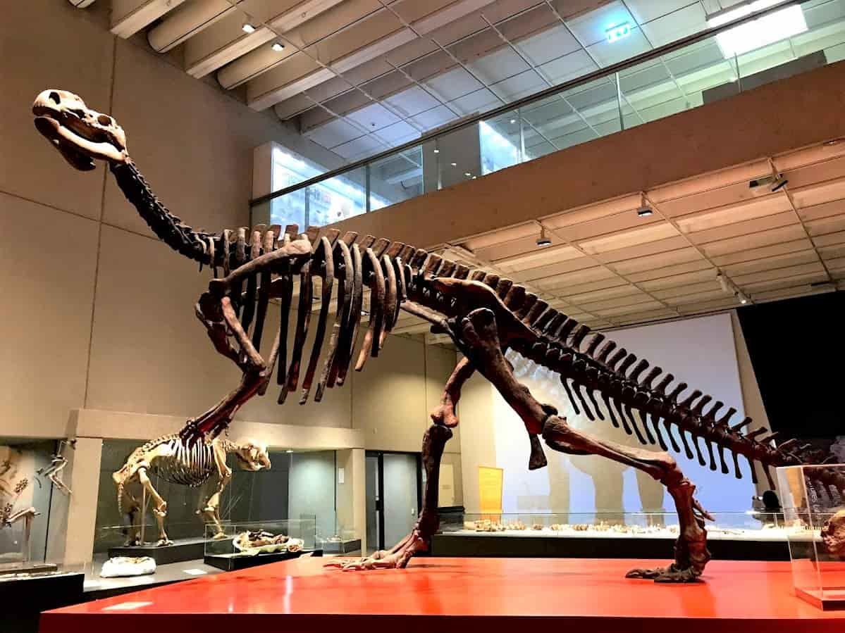 QLD Museum に展示されている恐竜の化石「Muttaburrasaurus」の骨格の写真