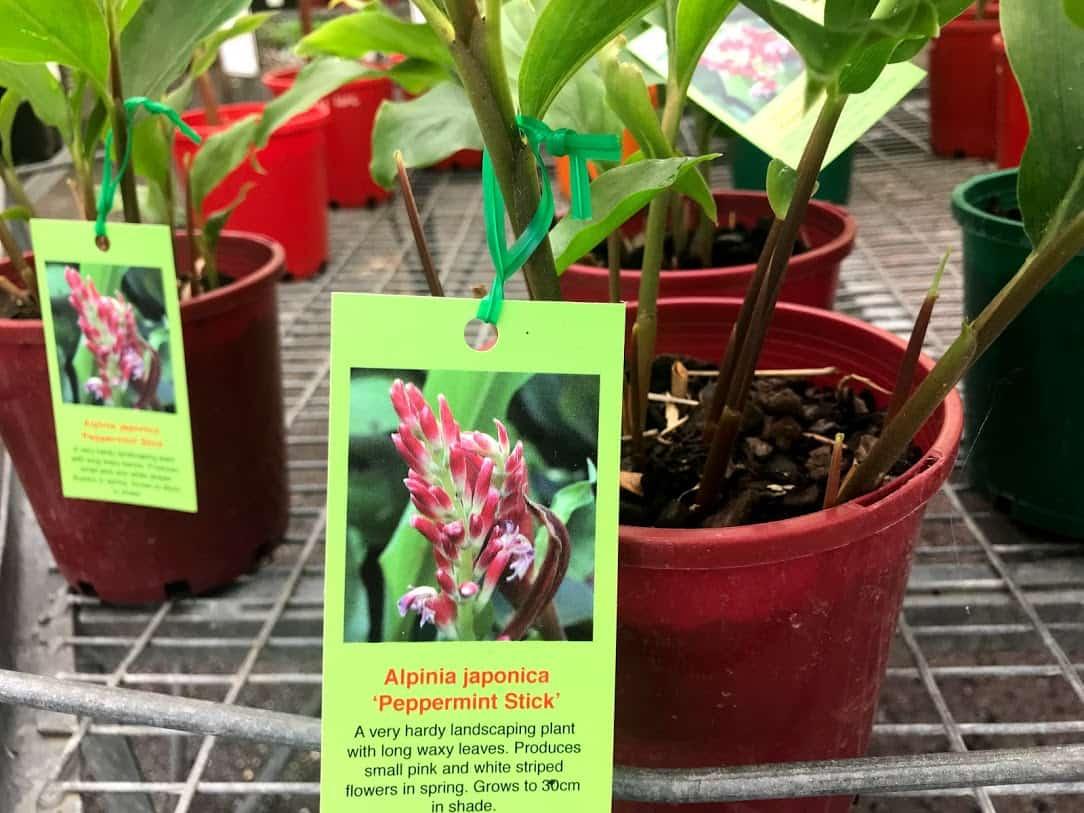 ナーサリーで販売している『Alpinia japonica』という名前の鉢入り植物