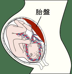 胎盤について