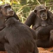 チンパンジー家族