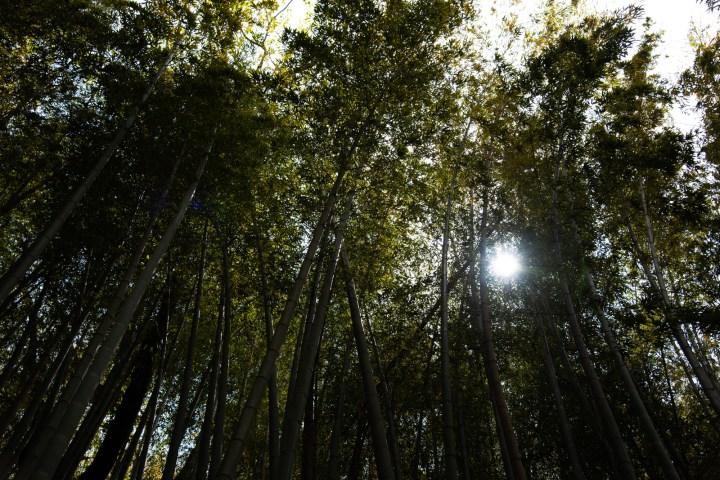 ひよどり坂の竹林