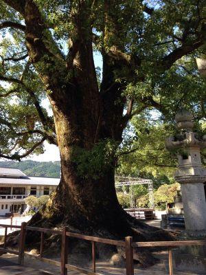 太宰府天満宮の大木