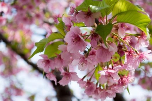 千葉公園の桜