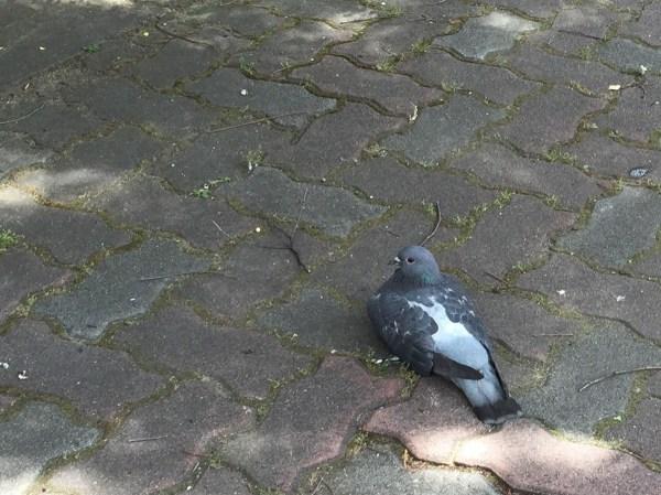 日陰で涼む鳩