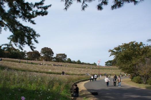 国営昭和記念公園のコスモス