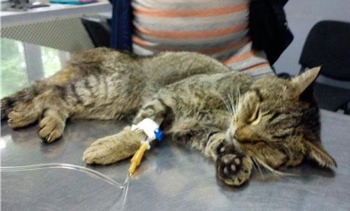 Внутреннее кровотечение у кошек симптомы – у кота кровянистые выделения Ростов