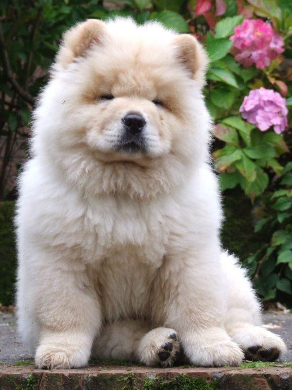 Собаки породы чау-чау (фото): своенравный домашний лев ...