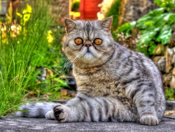 Кот экзот (фото): игрушечный кот с густой шерстью - Kot-Pes