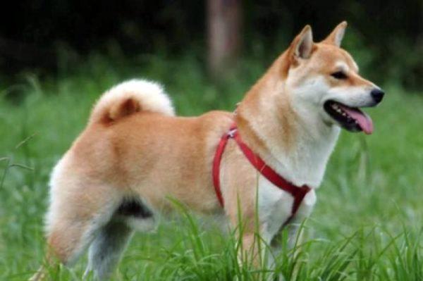 Японские породы собак: фото, краткая характеристика ...