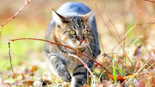 Сибирская кошка (фото): ласковый пушистик с королевским ...