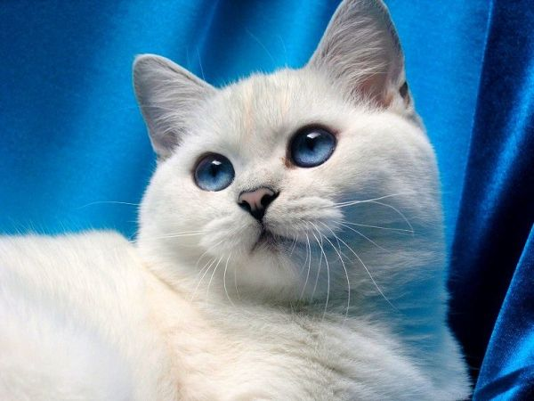Кошка шиншилла (фото): это не порода, это изящная ...
