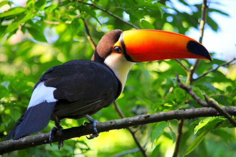 Deskripsi Kehidupan Seekor Burung Toucan Dengan Paruh Besar Toucans