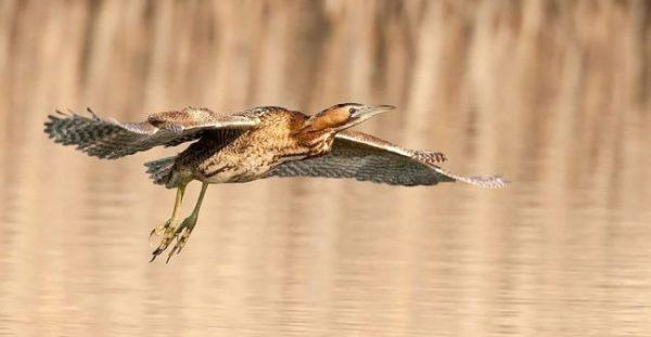 Птицы Подмосковья (фото и описание): крупные хищники и ...