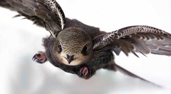 Птица стриж (фото): Самая быстрая летунья на земле