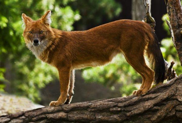 Красный волк (фото): Опасный хищник с необычной внешностью