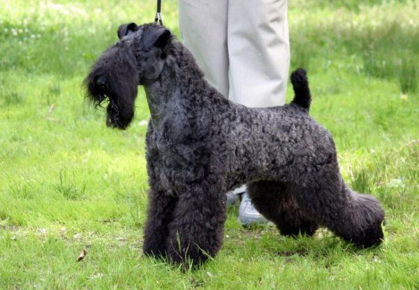 Керри-блю-терьер (фото): Голубая мечта многих собаководов