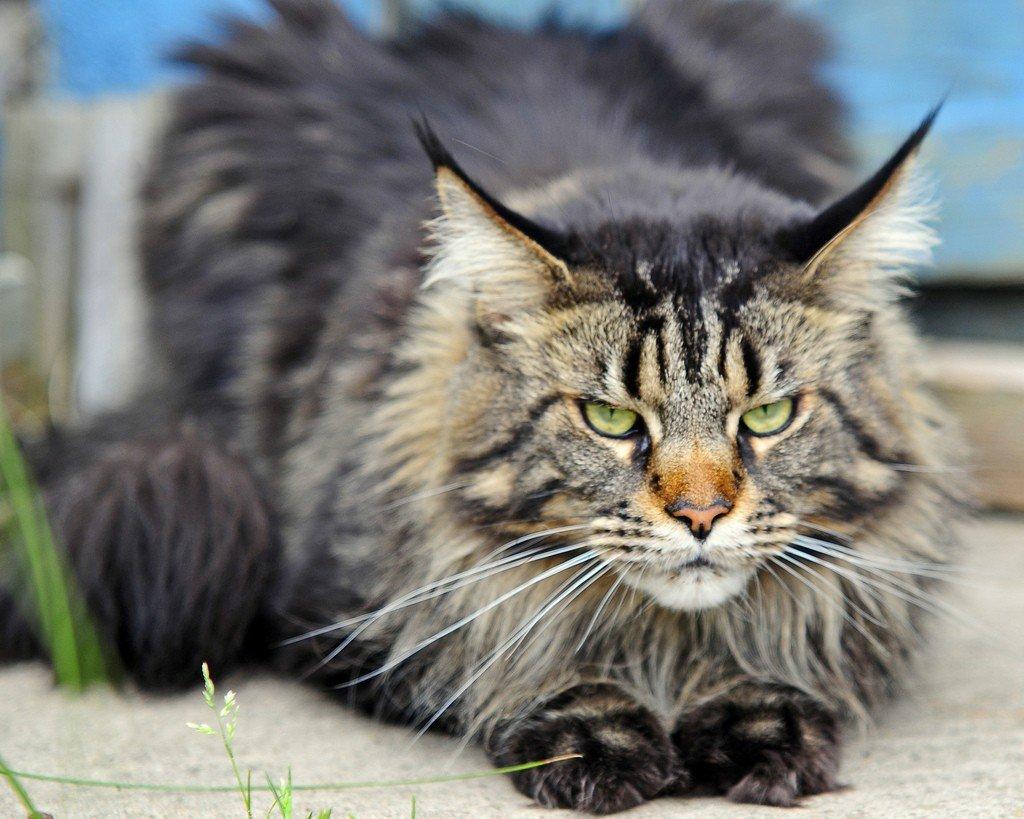 Сердечная недостаточность у кота симптомы и лечение