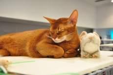 Кошки абиссинской породы.