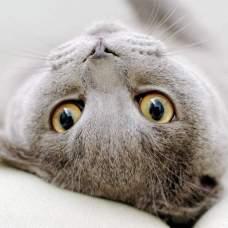 Чумка у кошек.