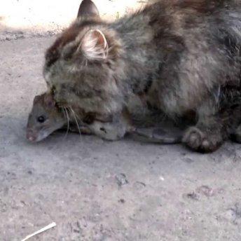 Как охотятся кошки.