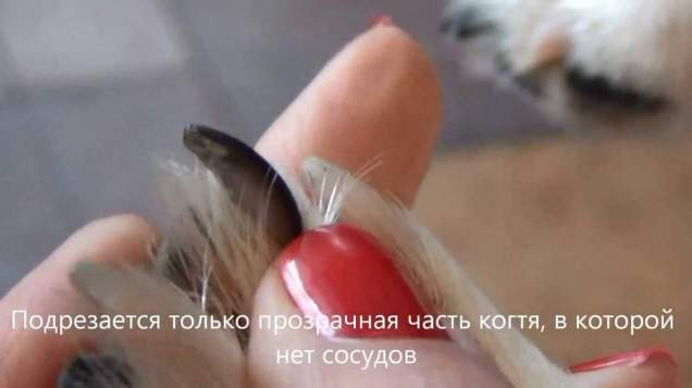 Особенности и правила стрижки когтей у кошек.