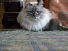 Особенности характера невской маскарадной кошки.