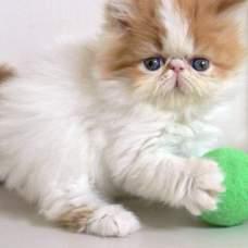 Особенности характера персидских кошек.