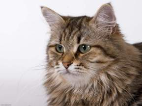 Сибирские кошки.