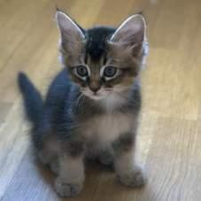 Сомалийская кошка – пушистая красотка.
