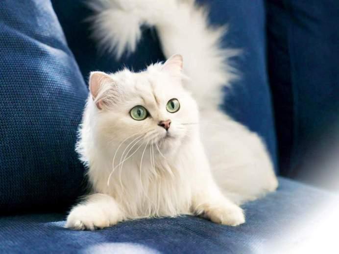 Турецкая ангора: и среди котов есть аристократы.