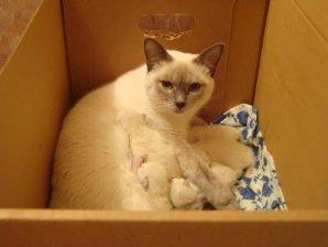 Перед родами кошка начинает нервничать и суетиться