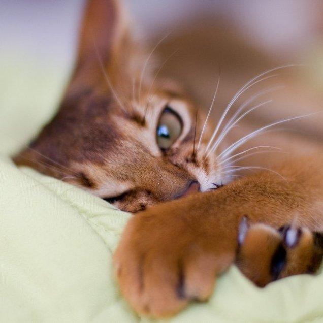 Когти необходимо точить всем представителям кошачьей фауны