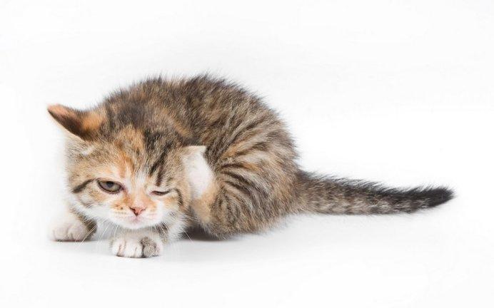 Блохи доставляют огромный дискомфорт Вашей кошке