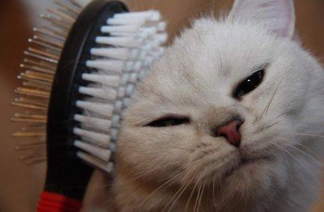 Расчесывайте кошку каждый день