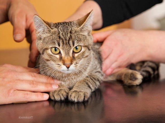 Кошка нуждается в неотложной помощи при перитоните