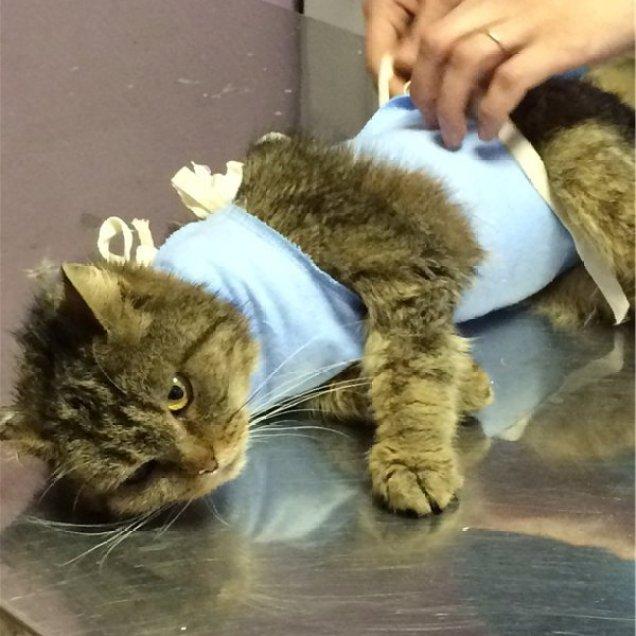 Стерилизация - удаление половых желез у кошки