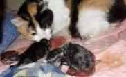 Сроки вынашивания котят у беременной кошки.