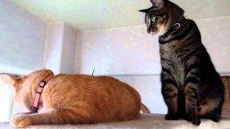 Во время половой охоты кошка зовет кота громким мяуканьем