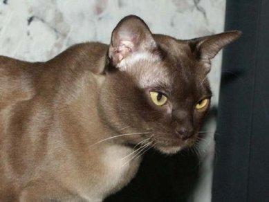 Наличие на кошке паразитов негативно влияют на шерсть