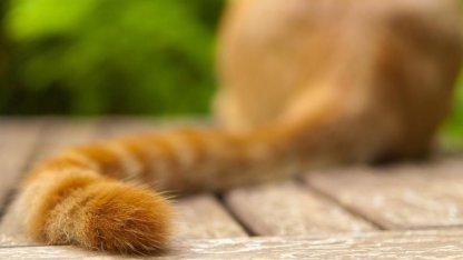 Сильные махи хвостом могут говорить о раздражительности животного