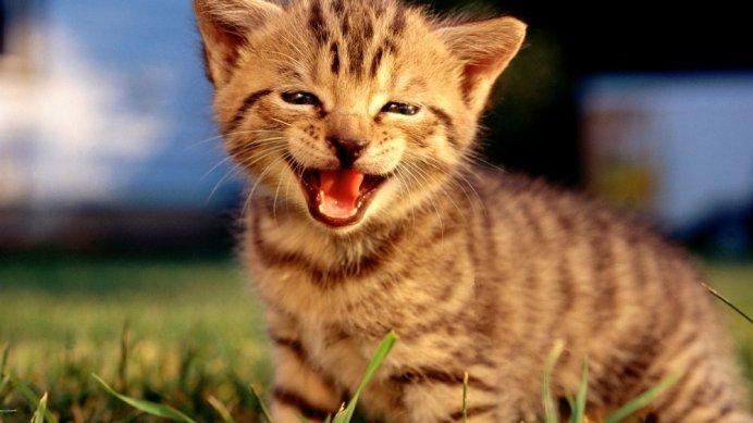 Добиваться внимания кошка может с помощью пронзительного мяуканья