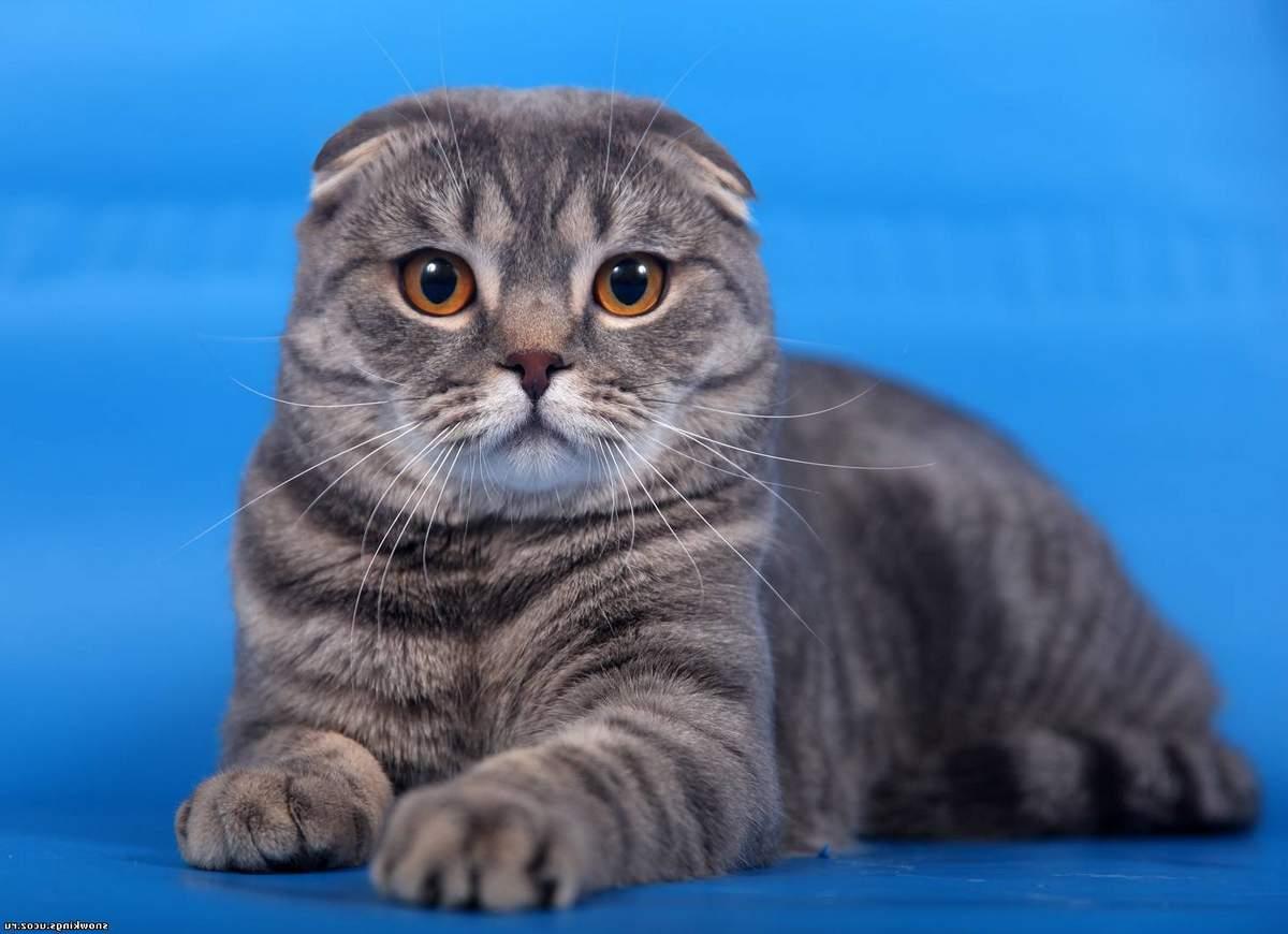 Картинка вислоухой шотландской кошки