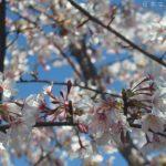 玉縄桜が満開です。