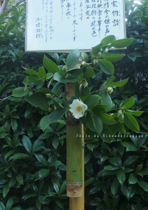 明月院 沙羅双樹の花