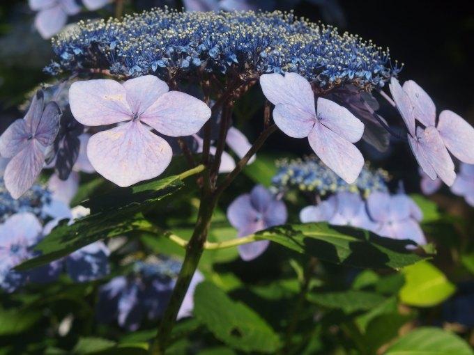 明月院 紫陽花 竹
